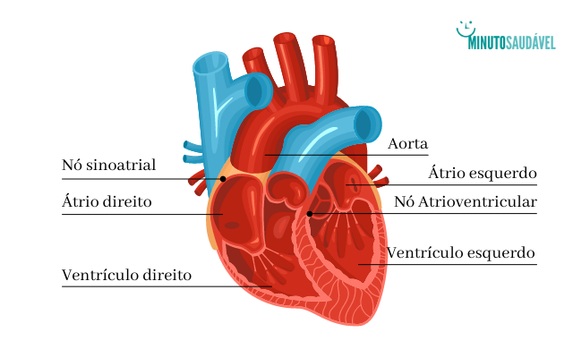 Coração anatomia
