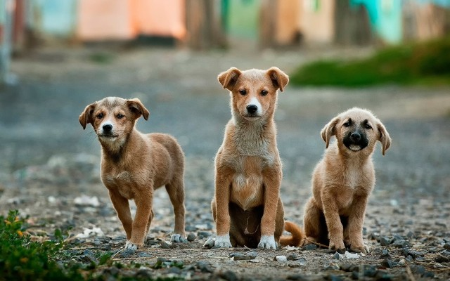Diversos motivos podem causar tosse no cachorro