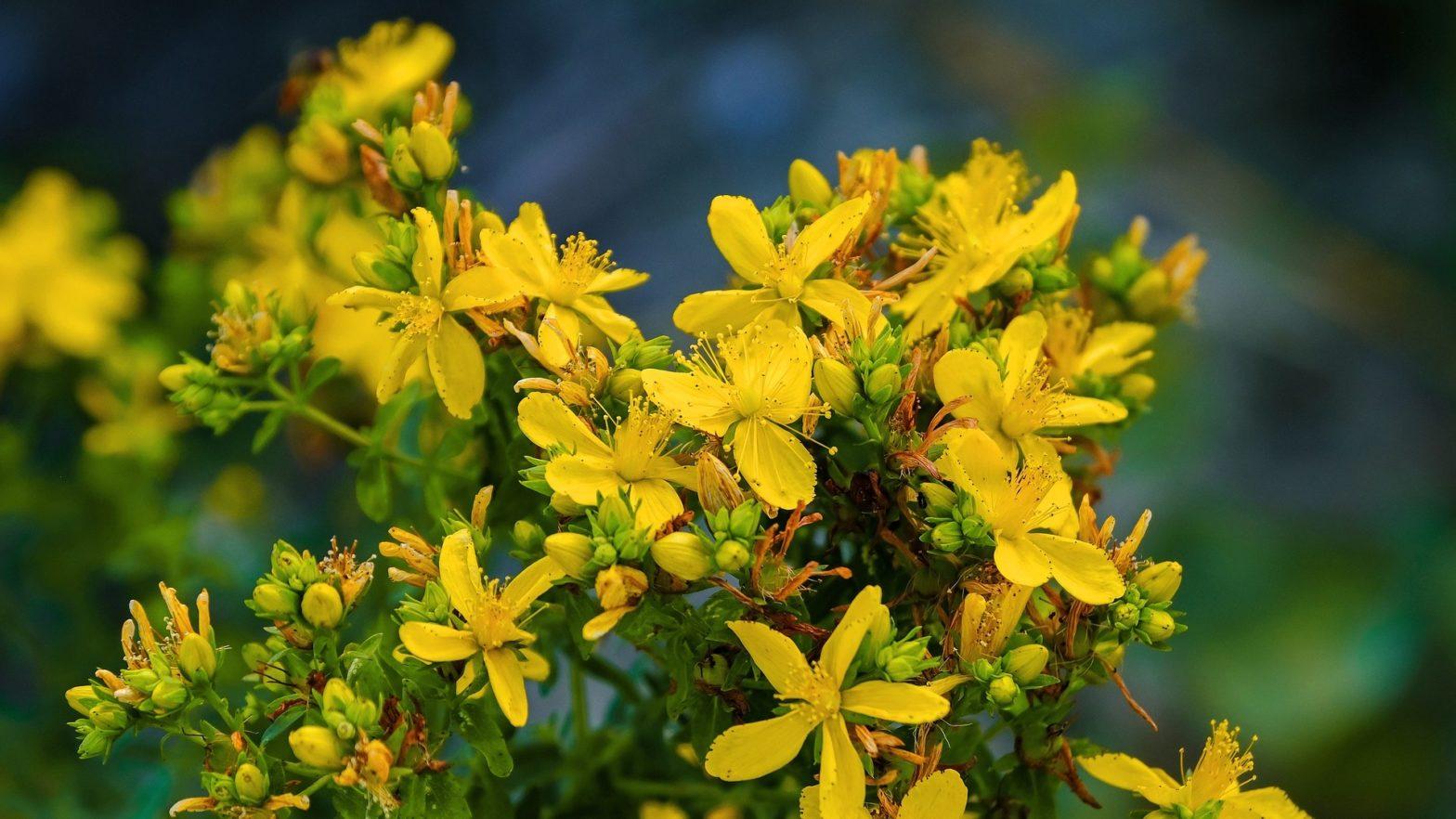 Planta medicinal erva-de-são-joão