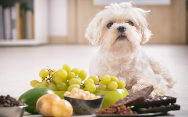Porção de uvas, abacate, chocolate, cebola na frente de um cachorro de pelo branco.