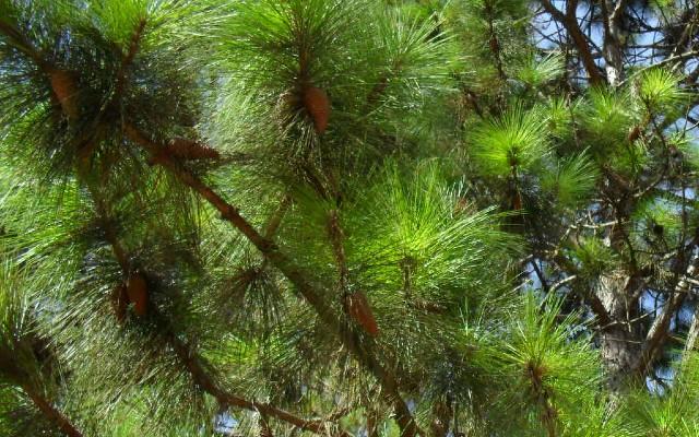 Frutos da espécie pinheiro maritimo, da onde se retira a substância picnogenol.
